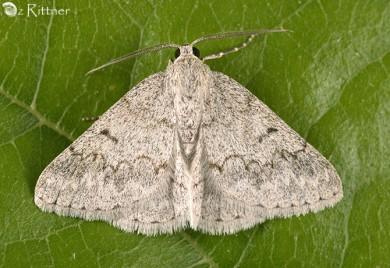 Pseudoterpna coronillaria halperini 1