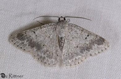 Pseudoterpna coronillaria halperini 2