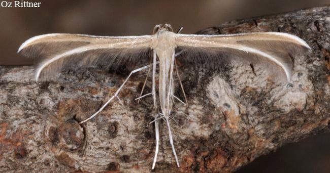 (Pterophorus ischnodactylus (Treitschke, 1835