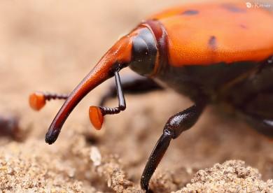 Rhynchophorus ferrugineus 2