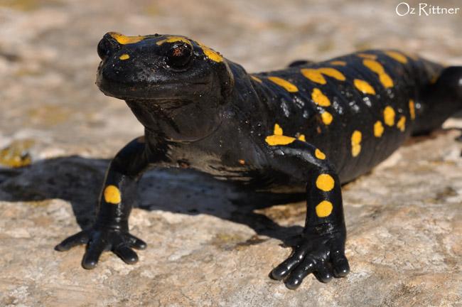 Salamandra infraimmaculata (1)