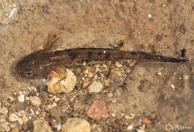 Salamandra infraimmaculata (2)