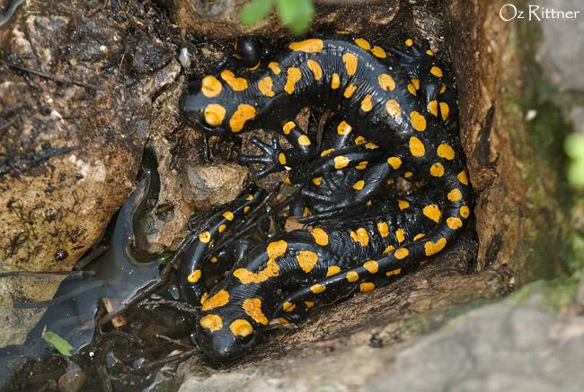 Salamandra infraimmaculata (3)
