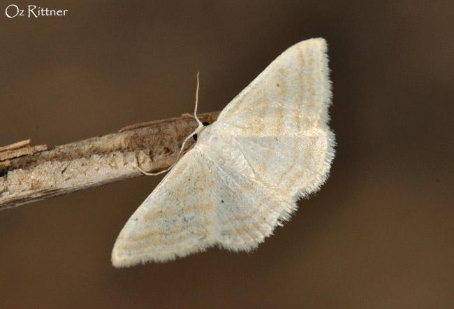 Scopula adelpharia
