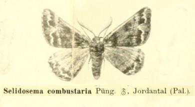 Selidosema combustaria 1903
