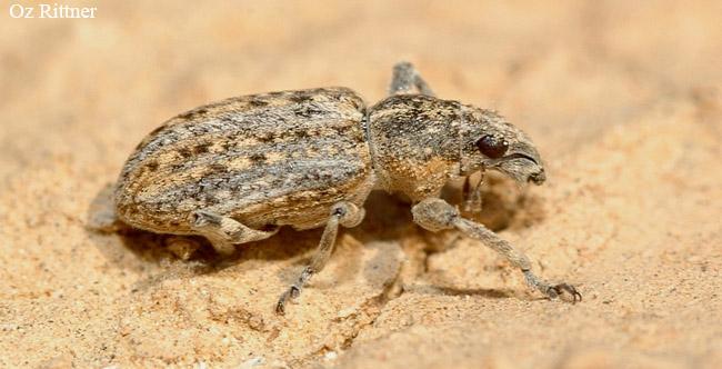 Sitona ocellatus