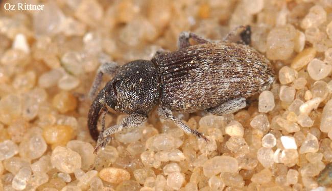 Smicronyx syriacus
