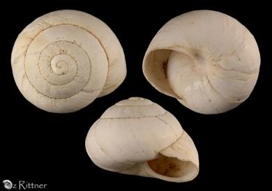 Sphincterochila fimbriata