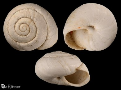Sphincterochila pulchella