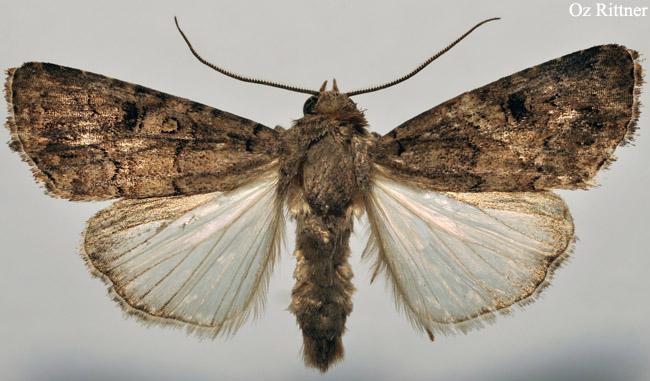 Spodoptera cilium