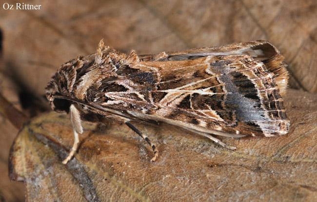 Spodoptera littoralis 1