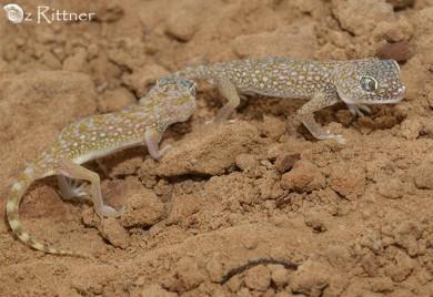 Stenodactylus doriae 2 (1)