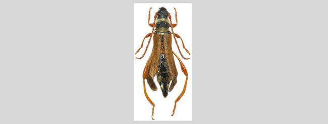 Stenopterus flavicornis