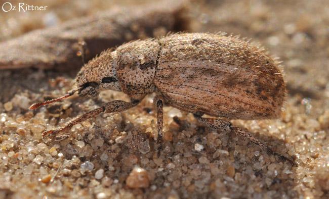 Strophomorphus porcellus 1