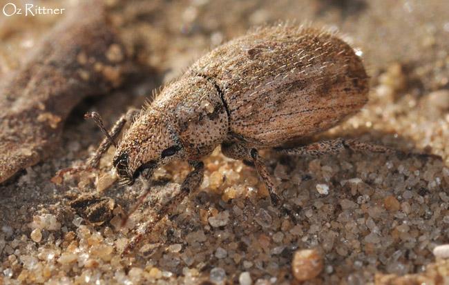 Strophomorphus porcellus 2