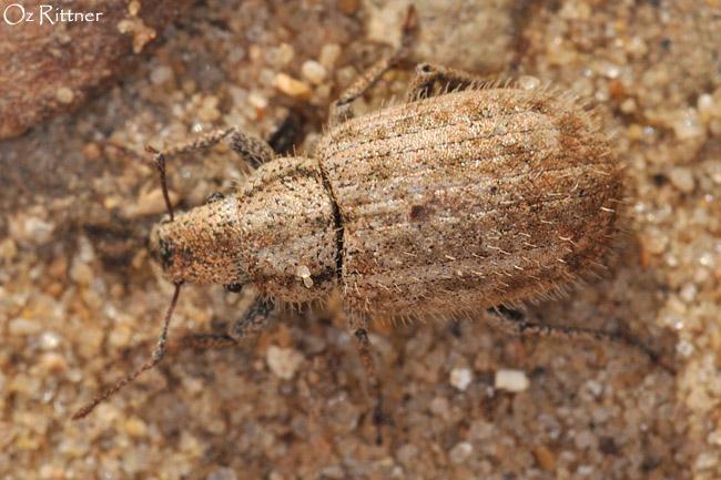 Strophomorphus porcellus 3
