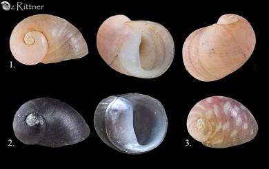 Theodoxus octagonus