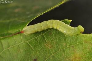 Theretra alecto 3rd instar larva