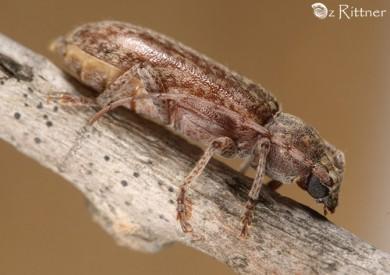 Trichoferus-fasciculatus 1