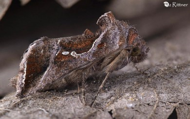 Trichoplusia circumscripta