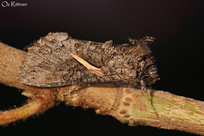Trichoplusia vittata