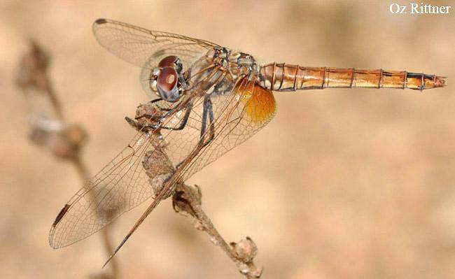 Trithemis annulata female