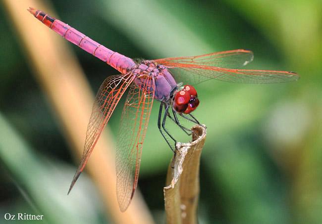 Trithemis annulata male