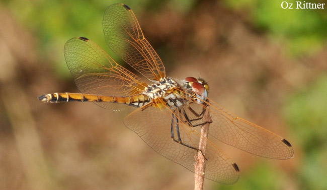 Trithemis arteriosa Young male