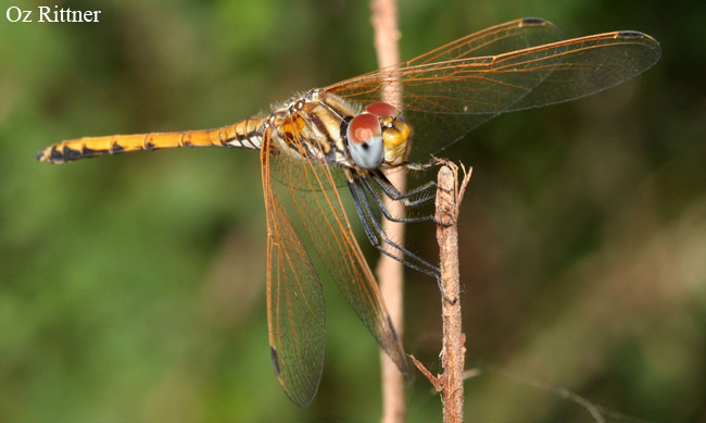 Trithemis arteriosa Young male1