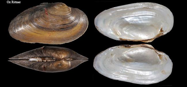 Unio mancus eucirrus