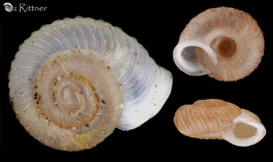 Vallonia costata