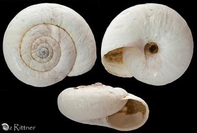 Xerocrassa cremnophila
