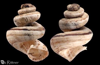 Xeropicta vestalis joppensis Scalarid
