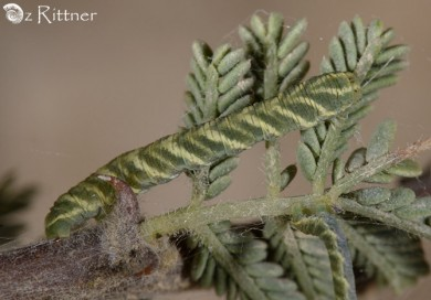 Zamarada torrida Larva