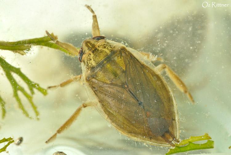 רבפשפש (Appasus urinator (Dufour, 1863