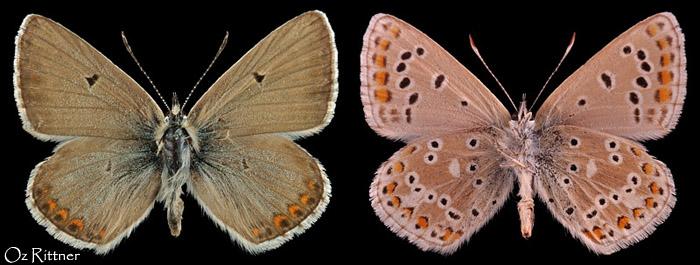 Aricia crassipuncta
