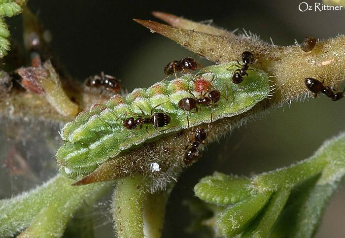 Azanus jesous Larva with Ant