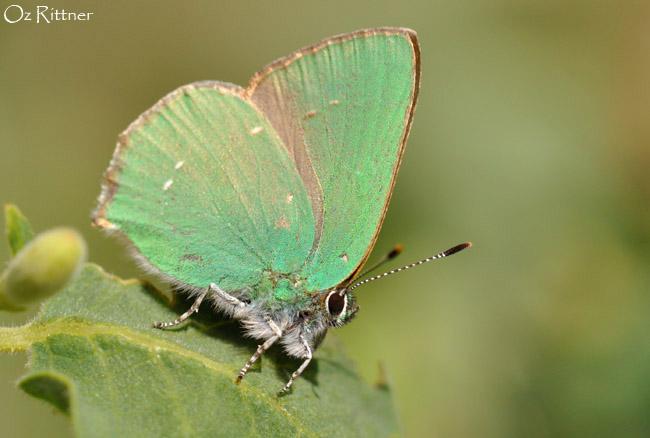 Callophrys paulae