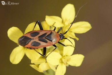Calocoris nemoralis 3