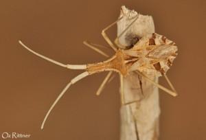 Cercinthus lehmannii