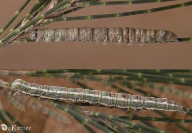 Clytie infrequens Larva