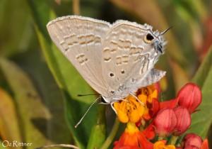Deudorix livia