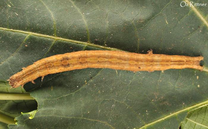 Dysgonia-torrida-Larva