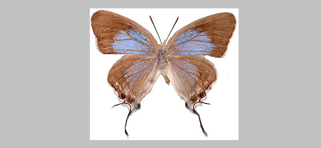 Epamera glaucus
