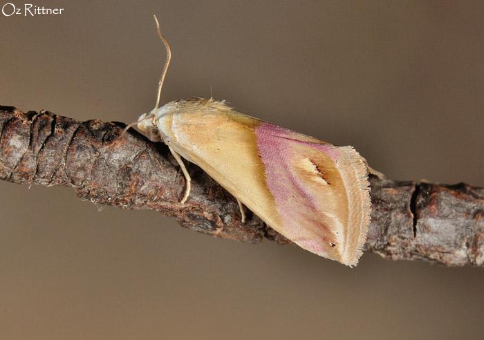 Eublemma cochylioides 1