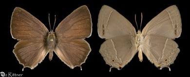 Favonius quercus