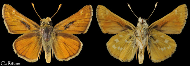 Hesperia comma pallida