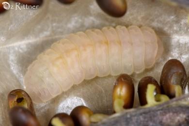 Iolana alfierii Larva