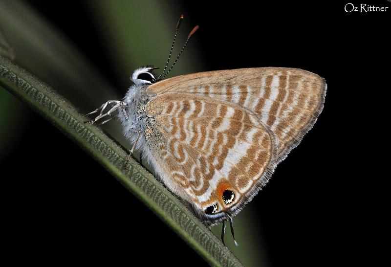 Lampides boeticus 1