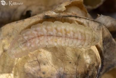 Lampides boeticus Larva